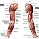 Muscular Contours of the Upper Limb Anterior and Posterior Views