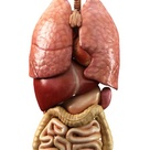What does the Spleen do? (with pictures)
