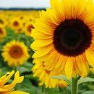 Cari Gambar Bunga Matahari