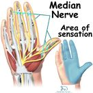 Median Nerve Course, Motor, Sensory & Common Injuries » How To Relief