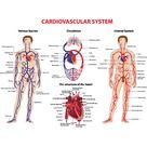 Cardiovascular system vector 831331   by P6M5 on VectorStock®
