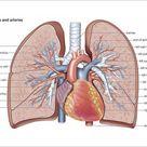Pulmonary veins and arteries. 7 inch Photo. Pulmonary veins and arteries.