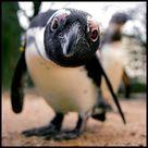 Species Of Penguins