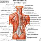 Human Neck Muscles Diagram
