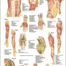 Muscles and Articulations Anatomy Poster 24 x 36