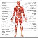 Gráfico de Educação Médica de Biologia para Diagrama do Sistema Muscular