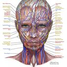 Nerves & Blood Vessels of the Face