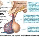 04. Pituitary Gland and Hyphothalamus Flashcards | Chegg.com