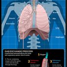 Diagram of the Human Respiratory System (Infographic)