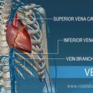 Blood Vessels   Circulatory Anatomy