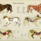 Cat Feline Skeletal Muscle Veterinary Anatomy Poster Wall Chart - 18