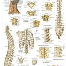 Human Spine Anatomy Chiropractic Poster   24