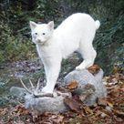 White bobcat