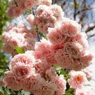 Best Roses