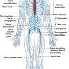 How Nervous and Endocrine Systems Helps Communication Within the Body