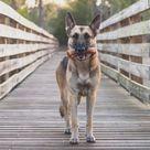 Beef Trachea Dog Training Treats   Single...