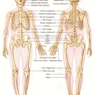 LibGuides Home: Human Anatomy and Physiology Resources: Bones and Models/Open Access