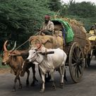 'Bullock Carts are the Main Means of Transport for Local Residents, Tamil Nadu State, India' Photographic Print - R H Productions   Art.com