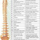 Spinal Nerve Chart   Nervous System   Hinterland Chiropractic