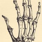 vesalius_hand_bone_back