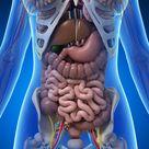 Female anatomy stock illustration. Illustration of liver - 30725612