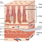 The Stomach | Anatomy and Physiology II