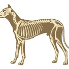 Shoulder Blades are the only bones in a dog's body that are unattached to the rest of the skeletal structure. This is to allow greater flexibility while running.