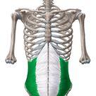 Internal abdominal oblique muscle