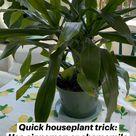 Quick houseplant trick: Use cinnamon or chamomile tea to kill gnats