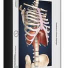 1000 Piece Puzzle. Visualization of human diaphragm