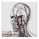 10 inch Photo. Medical illustration of head arteries, veins and
