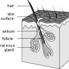Hair follicle   Wikipedia