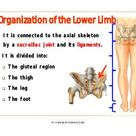 Organization of the ll, front and medial sides of thigh