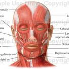 Muscles of the Face (Facial Muscles) - Medical Illustration, Human Anatomy Drawing, Anatomy Illustration