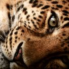 Leopard - who you are?