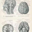10 inch Photo. Brain anatomy engraving 1895