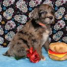 Aussiedoodle Genius of the Dog World at Mystic Mountain Kennels Puppies For Sale