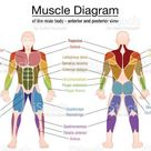 Muscle diagram - most important muscles of an athletic male body -...