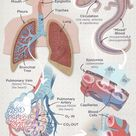 Chart of Respiration: Human vs Lungless Salamander (alveoli, bronchioles, lungs) by drldf