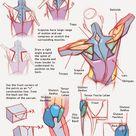 AnatoRef — Torso Anatomy Tutorial by Josh Reed