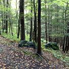 The Trees At Massachusetts's Mohawk Trail State Forest Are Some Of The Oldest Living Things In America
