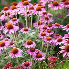Best Perennials