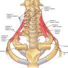 Scalenus Medius | Classical Osteopathy in Ontario