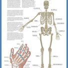 A1 Poster. Labelled Human Skeletal System Poster