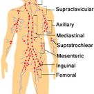 Lymph Nodes: Locations and Functions