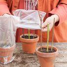 Zelf doen in de tuin: hortensia's stekken