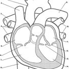 Habits of the Heart: Lessons: Heart Diagram