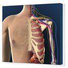 Box Canvas Print. Cutaway view of male chest showing lung