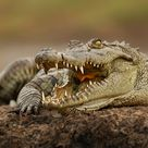 Crocodile