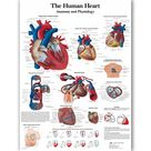 Human Heart Chart Anatomy Physiology Poster Map Canvas Painting Wall Pictures for Medical Education Doctors Office Classroom - 70x90cm no frame